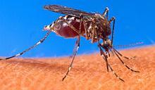 220px-Aedes_aegypti_biting_human